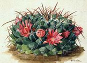 Neomammillaria macracantha (Cactaceae) by Mary Emily Eaton