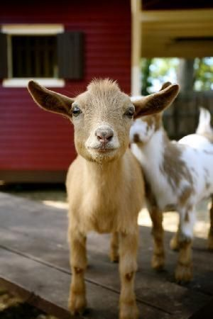 Male goats peeing on their heads