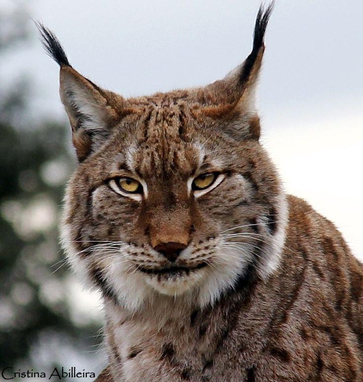 Boreal lynx by Cristina Abilleira on 500px