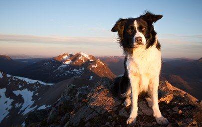 бордер-колли, горы, взгляд, собака