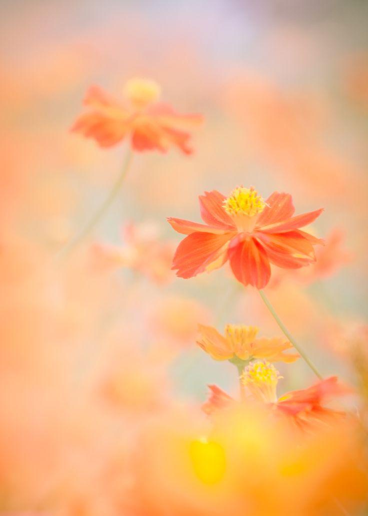 Fotografía orange cosmos field por Miyako Koumura en 500px