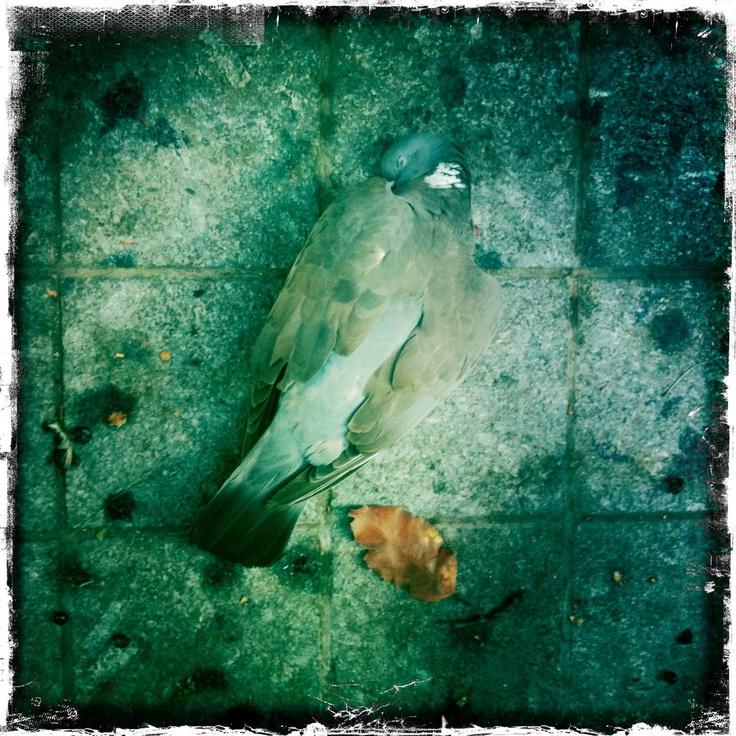 Dead pigeon ©les broutilles 2012