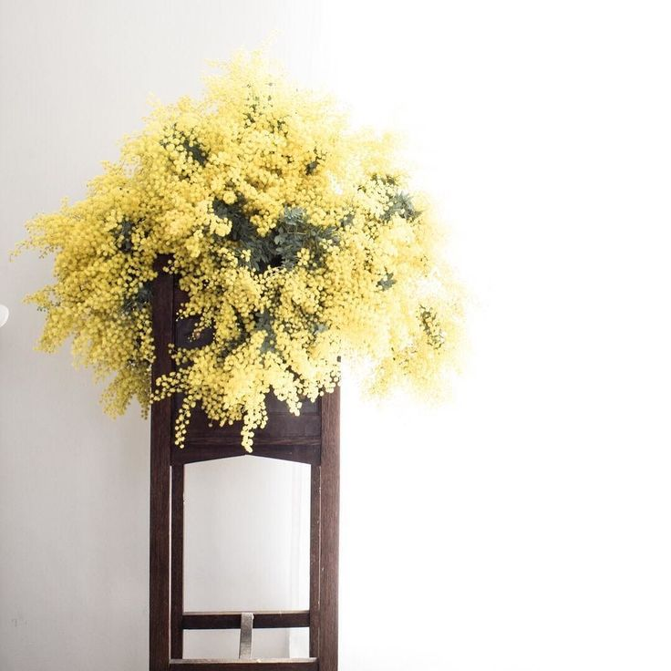 Wednesday has come around again...how do the weeks go by so quickly...what's your favourite 'hump day pick me up'? Mine is making plans for the weekend or making a favourite  dinner... . And some more Wattle blooms for all those foragers out there...arranged in a gorgeous antique plant stand that's been in my family  since before I can remember it... .  #fieldtovase #botanicalforagersunitedsocietyinc