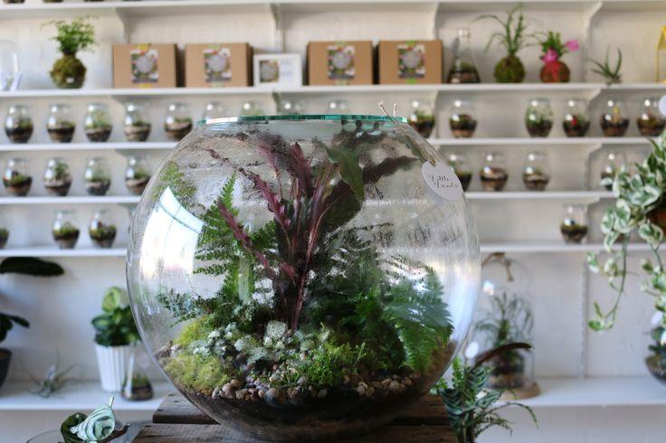 HUGE gian terrarium instore at Little Lands Conservatory, 45 Main Road Monbulk, in outer Melbourne Australia