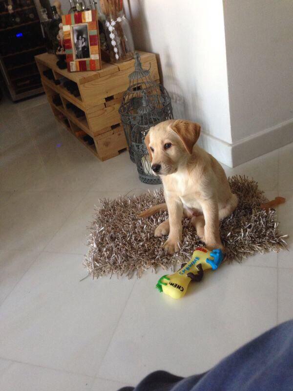 Baby Elvis , Labrador