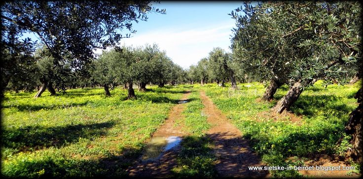 Olive grove by /sietske-in-beiroet