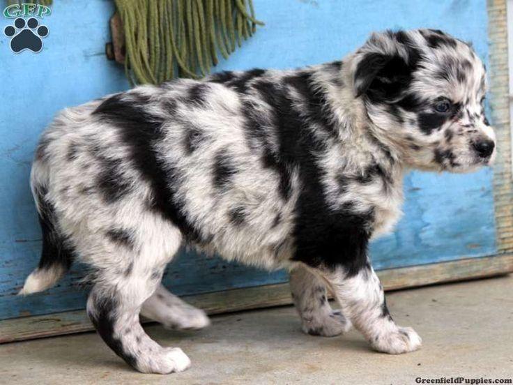 Australian Shepherd X Dalmatian With