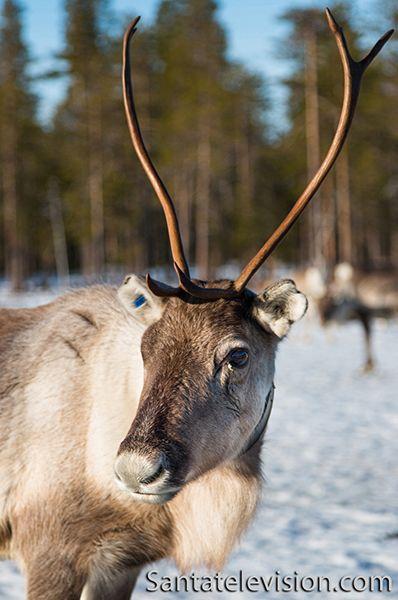 Female reindeer in Finnish Lapland