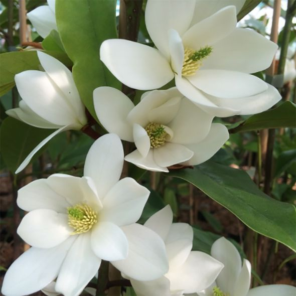 Fiori Primaverili Bianchi.Michelia Fairy White Arbusti Fiori Primaverili E Fiori