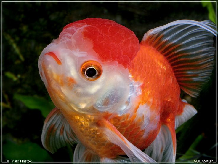 Cute goldfish fascinating fish pinterest goldfish for Cute freshwater fish