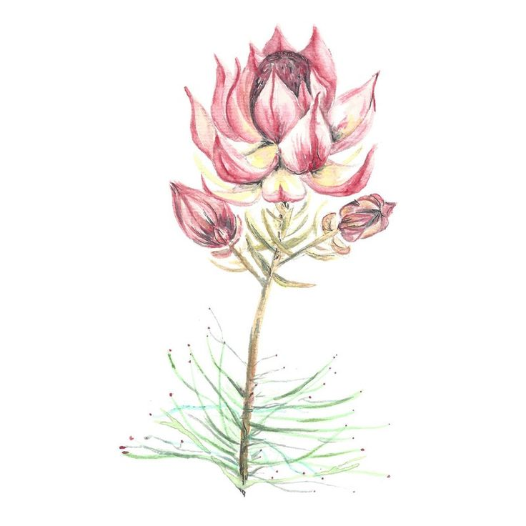 Image of [ORIGINAL] Serruria florida