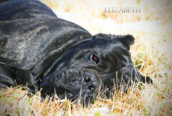 StoneRidge Black Brindle Cane Corso Elizabeth Resting