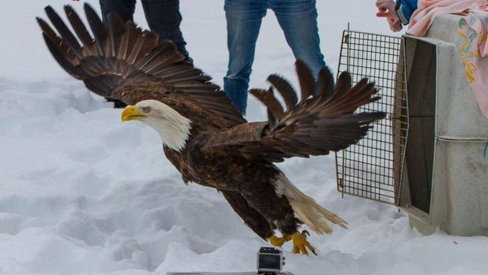 Rescued Bald Eagle's Amazing Reunion With Her Life Long Mate