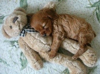 cocker spaniel puppy cuddling teddy