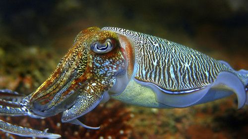 "Scientists learn camouflage techniques from cuttlefish  Engineers at the University of Bristol in the UK have created soft materials that mimic the cuttlefish's colour-changing skin, leading to the design of ""smart clothing,"" which would take camouflage to a new level.What allows the cuttlefish to blend into nearly any background – whether it is by turning a light tan when swimming along the sandy seafloor or displaying crude black and white squares on its skin when placed in a tank with a…"