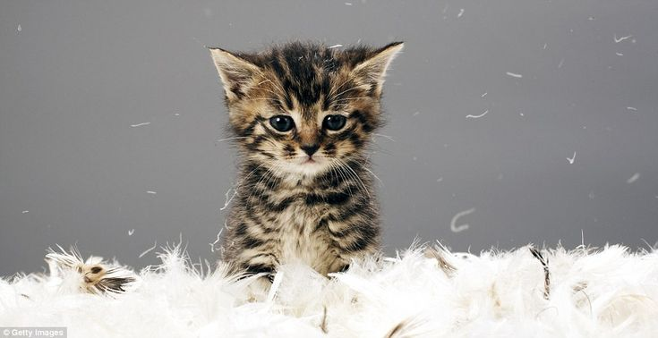 You didn't think we'd leave out a kitten, did you? Potentially one of the cutest creatures on earth, and unlike others on this list, far from endangered and very fairly easily accessible wherever you live in the world