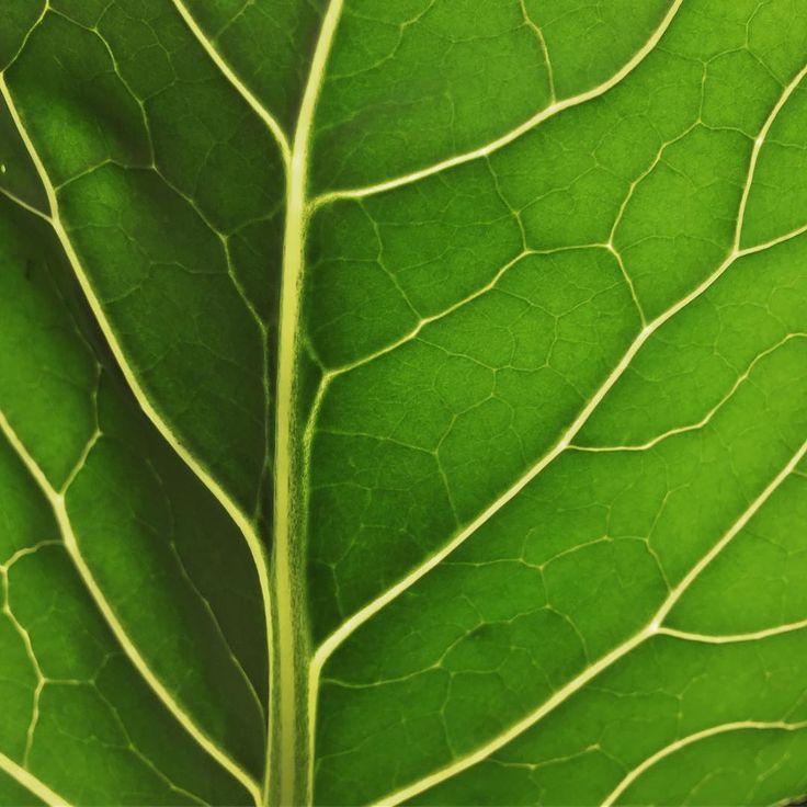 Apparently it's Back Of A Leaf Tuesday hope you had a good one 🍃    #lol_backofaleaf #leaveonlyleaves #broccoli