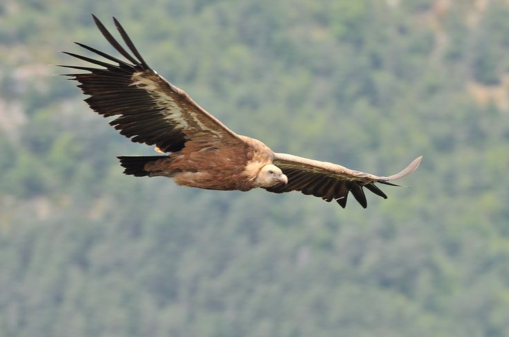 Dans les gorges de la Jonte ou du Tarn, au dessus des forêts de pins sylvestres  se dressent des falaises inaccessibles aux hommes. C'est là que nichent les vautours. Aujourd'hui, ils font partie du paysage et sont devenus les alliés des agriculteurs qui les nourrissent avec les carcasses de mouton.