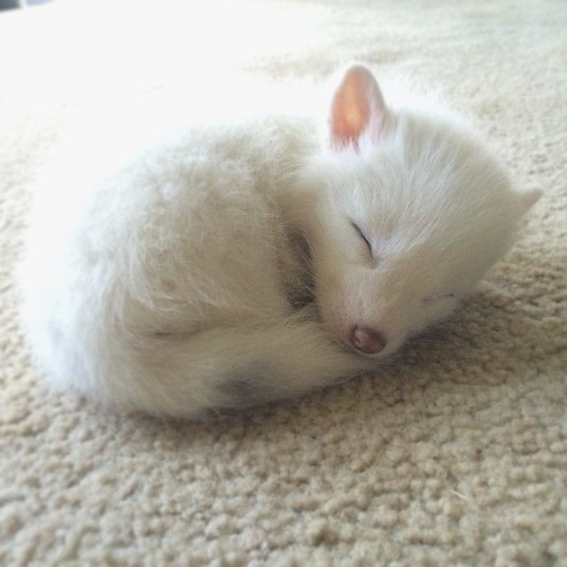 Rylai, el zorro blanco más adorable de internet, sigue creciendo