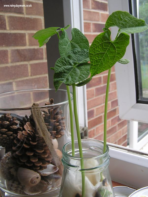 bean growing experiment - simple science at home and great way to show kids what happens in plant growth