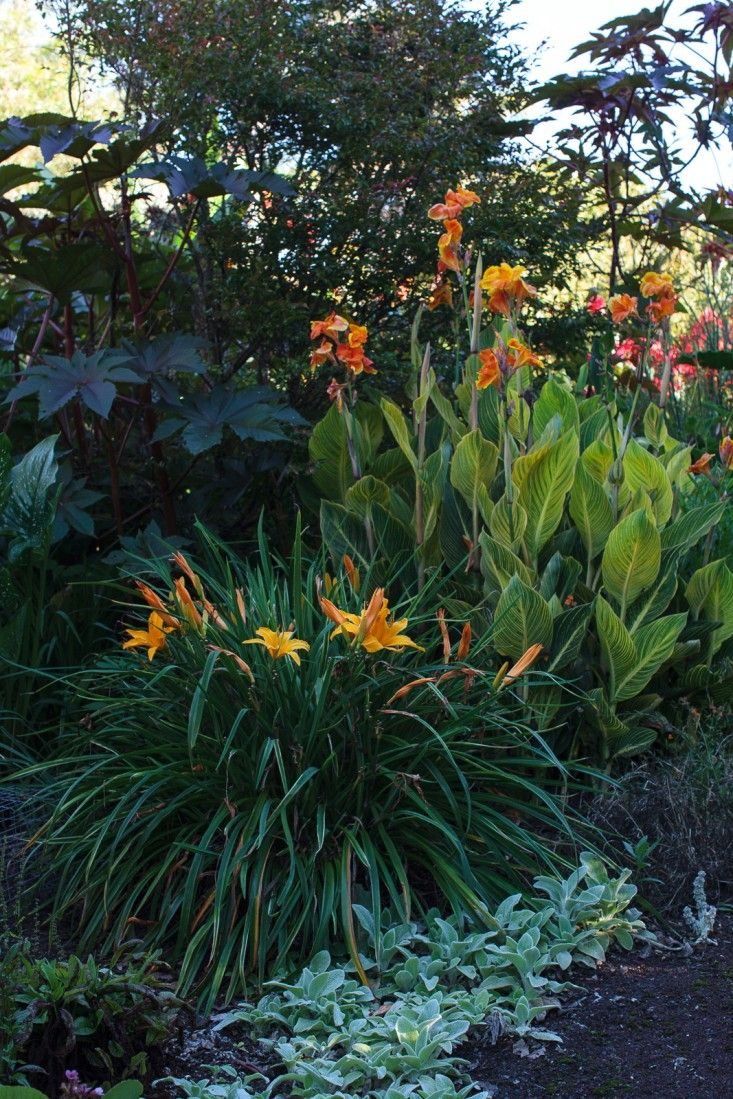 Orange day lilies 'Flaming Nora', black-leafed castor bean, and variegated canna with striking orange blooms, underplanted with silver stachys.