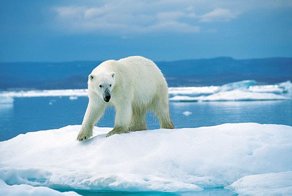 King of the Ice | The Arctic ice is melting, and the polar bear faces an uncertain future | Photo: Wikicommons / Ansgar Walk | Organic Spa Magazine: Blue Sky, Endangered Species,  Polar Bears, Climate Changing,  Thalarcto Maritimus, National Parks,  Ursus Maritimus, Ice Bears, Animal