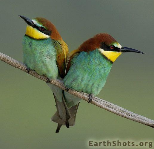 Bee-Eaters by Edri Shimon