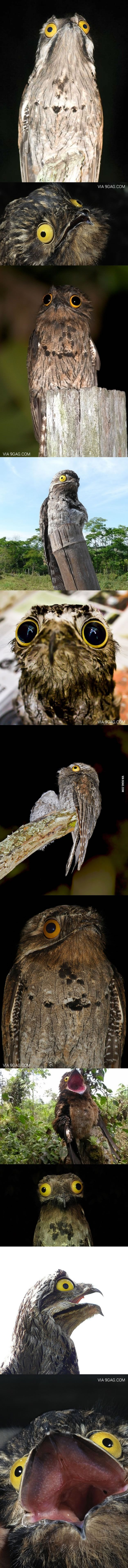 The Potoo Bird Always Looks Like It Saw Something Horrifying  Do you have any of these?!?! @Mada