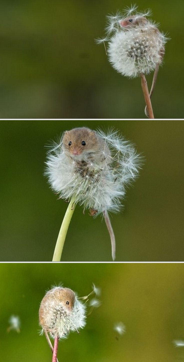 Photographer Matt Binstead captured these stunning photos of a TINY harvest mouse as it clinged to a dandelion blowing in the wind in the British Wildlife Centre in Lingfield