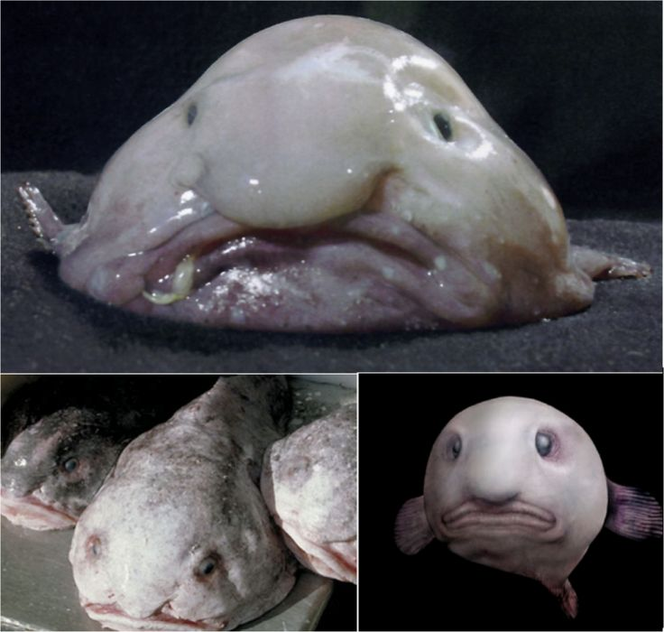 Blobfish live deep in the ocean, where pressures are ...