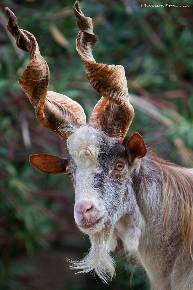 The Girgentana is a breed of domestic goat indigenous to the province of Agrigento, in the southern part of the Mediterranean island of Sicily.