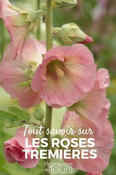 Rose trémière : semer, planter, entretenir