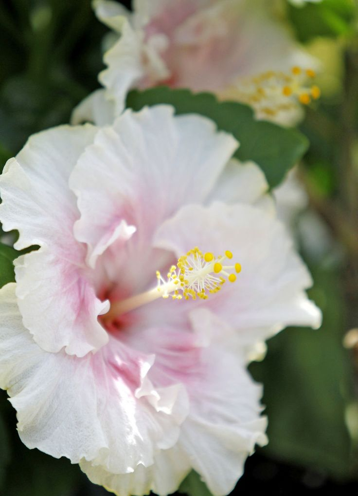 How to plant, prune and fertilizer hibiscus plants for an optimal floral show