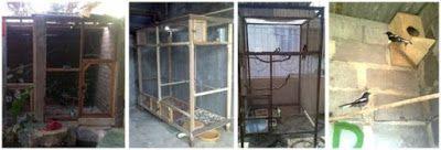 Dunia Cara Ternak Hewan - Peluang Usaha Sampingan: strategi belajar ternak burung kacer