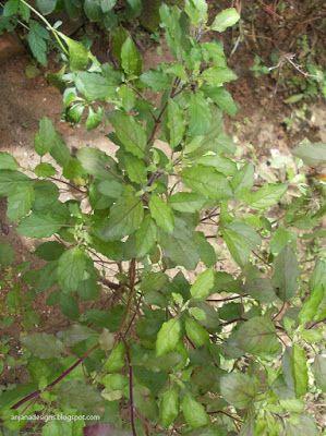 Ocimum tenuiflorum (Thulasi) Family:Lamiaceae