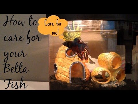 17 best images about betta fish guide crafts tanks on for How to take care of beta fish