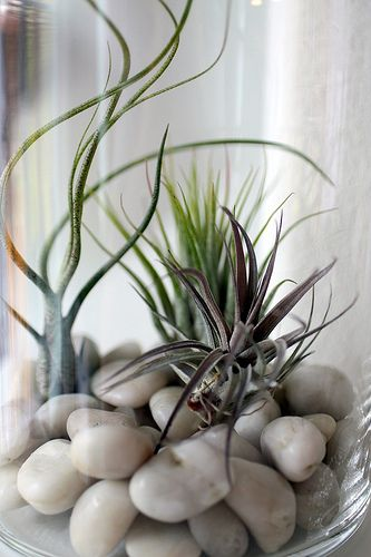 In my 13 years of floral design, air plants are probably the coolest things I have ever witnessed!                                                                                                                                                     More