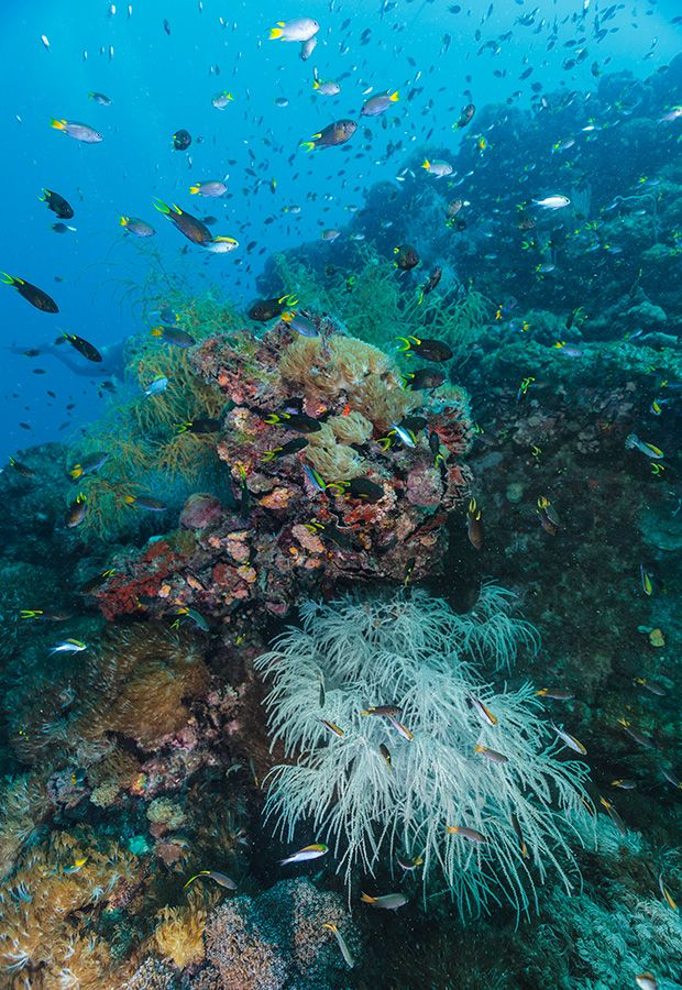 Feather stars, mushroom corals, lace corals, tree fern corals and anemones of many kinds, are just some of the species attached to the wreck of the Yongala, Queensland - Photo Credit: Darren Jew