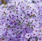 Aster 'Little Carlow' Masses of small, cheerful, violet-blue daisies with bright yellow centres appear from late summer to mid-autumn on soft stems. A pretty aster that has been given the Award of Garden Merit by the Royal Horticultural Society. It loves some shade and will add a splash of colour to a late summer border.