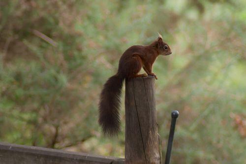 Red Squirrel on Brownsea Island #squirrel #Dorset #animal #fury #tail #Bournemouth #sea #island #rare #species
