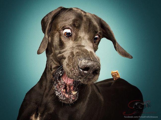 Забавные фотографии собак, ловящих лакомства (1)