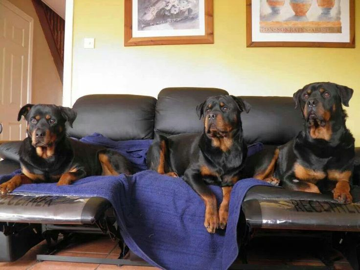 Image Result For Rotts Of Friends Animal