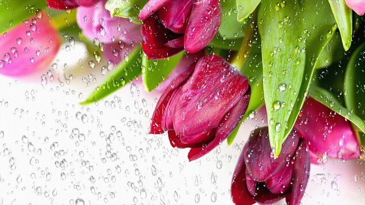 Tulipany, krople wody