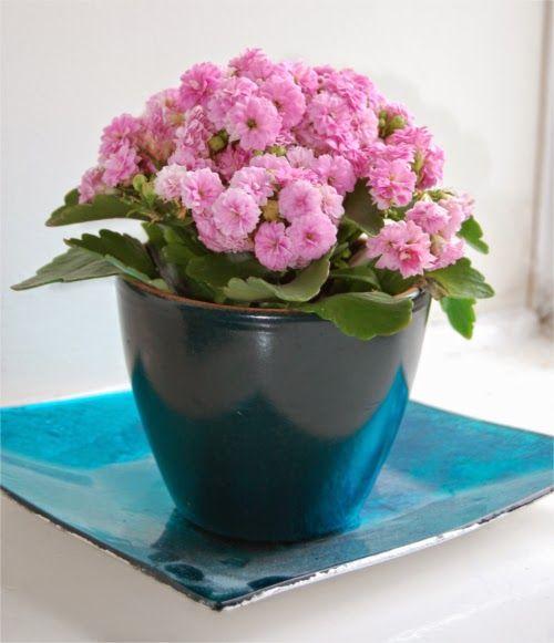 Kalanchoe en flor - Kalanchoe in bloom
