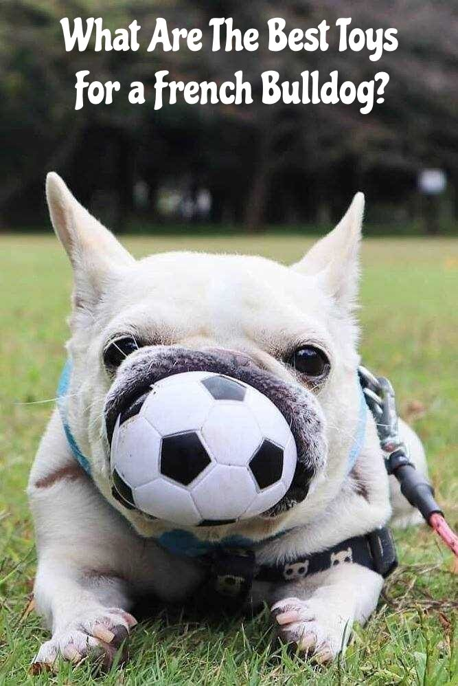 What Toys Do French Bulldogs Like Here Is A Guide To The Best
