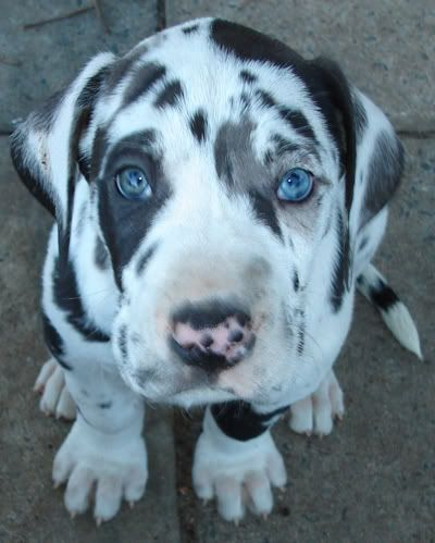 Black and white and blue eyed just what I want!!!