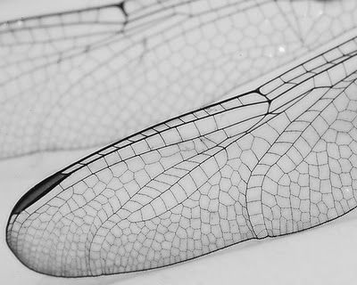 Dragonfly Wings - delicate line patterns in nature, organic inspiration  Organic Shape project idea
