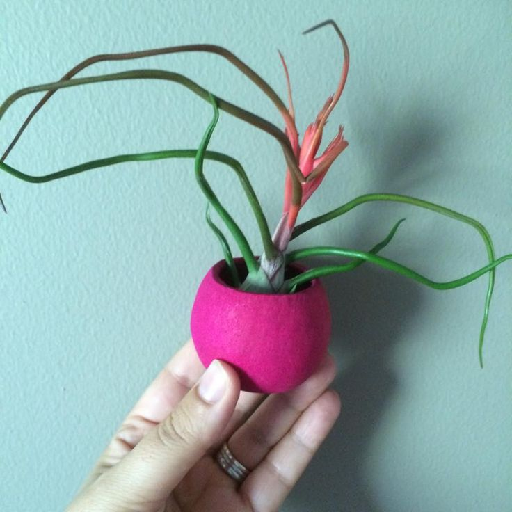 Pink Flower Nut Pod with a flowering Bulbosa #airplants #tillandsia #planters #airplantdesigns