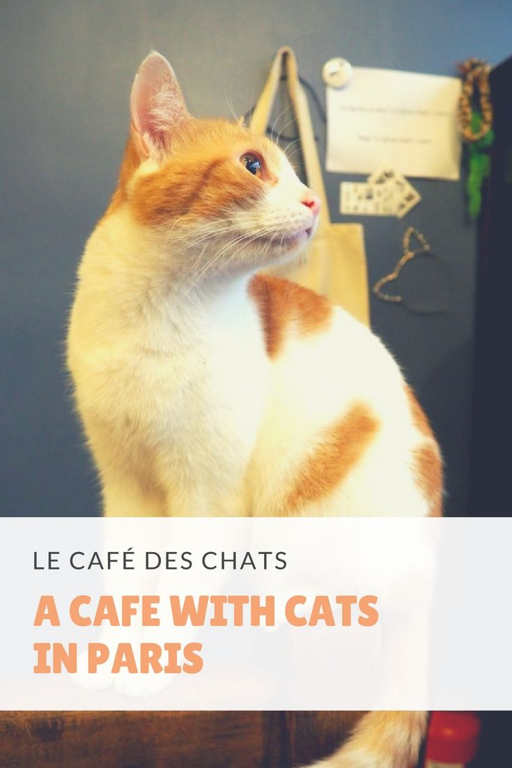 Le Café des Chats, a café with cats in Paris. Would you visit this cat café? Click here to read our review + cat pictures: http://www.traveling-cats.com/2017/01/cats-from-paris-france_30.html (Paris, cat café, cat pictures, Le Café des Chats, visit Paris)