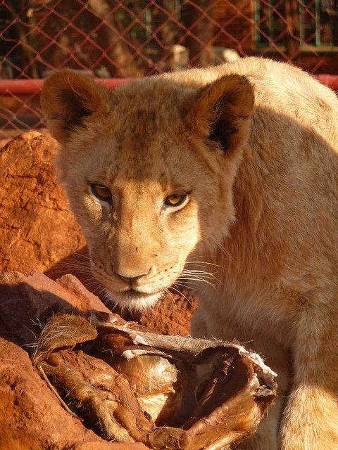 Sundowner Ranch and Lion Park